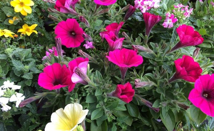 La fleur génétiquement modifiée clandestine dans ton jardin ...